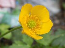 Flor amarela do botão de ouro fotos de stock