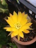 Flor amarela do cacto imagem de stock