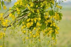 Flor amarela do chuveiro dourado fotos de stock royalty free