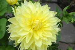 Flor amarela do close up Fotografia de Stock Royalty Free