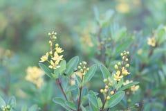 Flor amarela do close up no jardim com natureza da beleza, selectiv Imagens de Stock