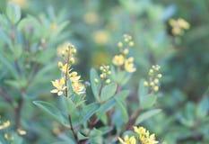 Flor amarela do close up no jardim com natureza da beleza, selectiv Fotografia de Stock
