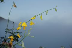 Flor amarela do close up do sunhemp ou do juncea do Crotalaria no nome científico fotografia de stock royalty free