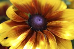 Flor amarela do cone Fotos de Stock Royalty Free