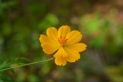 Flor amarela do coreopsis fotos de stock