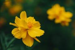 Flor amarela do Coreopsis no fundo das folhas no jardim fotos de stock