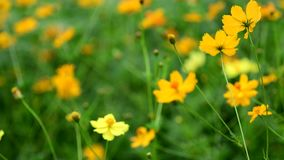 Flor amarela do cosmos video estoque