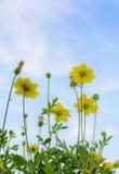 Flor amarela do cosmos foto de stock royalty free