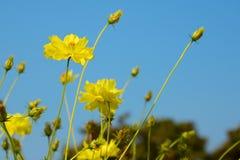 Flor amarela do cosmos Imagens de Stock Royalty Free