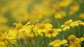 Flor amarela do cosmos fotografia de stock royalty free