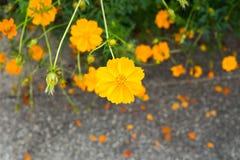 Flor amarela do cosmos no jardim Fotos de Stock Royalty Free