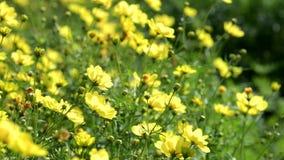 Flor amarela do cosmos que floresce no jardim filme