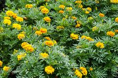 Flor amarela do cravo-de-defunto imagens de stock