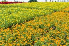 Flor amarela do crisântemo arquivada e casa Fotografia de Stock