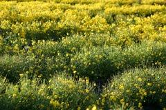 Flor amarela do crisântemo no campo foto de stock royalty free