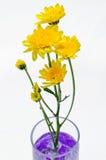 Flor amarela do crisântemo no vidro Imagem de Stock