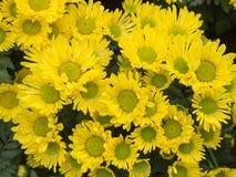 Flor amarela do daisey Fotografia de Stock