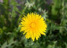 Flor amarela do dente-de-leão Imagem de Stock Royalty Free