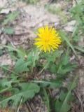 Flor amarela do dente-de-leão em Sandy Soil fotografia de stock