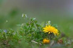 Flor amarela do dente-de-leão em um fundo da grama verde Foto de Stock Royalty Free