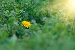 Flor amarela do dente-de-leão em um fundo da grama verde Foto de Stock