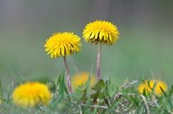 Flor amarela do dente-de-leão em um fundo da grama verde Imagens de Stock