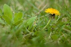 Flor amarela do dente-de-leão em um fundo da grama verde Fotografia de Stock Royalty Free