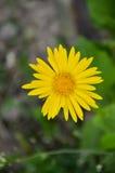Flor amarela do Doronicum no jardim Fotos de Stock Royalty Free