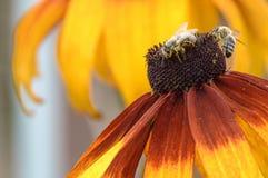 Flor amarela do echinaceea com abelha Imagens de Stock