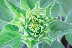 Flor amarela do girassol Foto de Stock