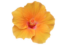 Flor amarela do hibiscus Foto de Stock Royalty Free