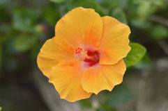 Flor amarela do hibiscus imagem de stock