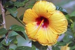 Flor amarela do hibiscus com uma formiga Fotografia de Stock Royalty Free