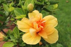 Flor amarela do hibiscus - hibiscus rosa-sinensis Imagens de Stock