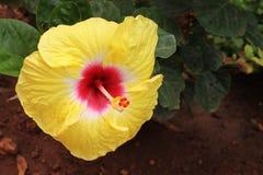 Flor amarela do hibiscus - hibiscus rosa-sinensis Imagem de Stock Royalty Free