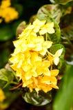 Flor amarela do ixora imagens de stock royalty free