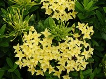 Flor amarela do ixora - planta populardecorative de 3Sudeste Asiático foto de stock