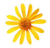 A flor amarela do jardim, branco isolou o fundo com trajeto de grampeamento Fotografia de Stock