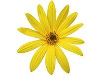 A flor amarela do jardim, branco isolou o fundo com trajeto de grampeamento closeup Imagem de Stock Royalty Free