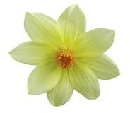 A flor amarela do jardim, branco isolou o fundo com trajeto de grampeamento closeup Imagens de Stock Royalty Free
