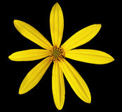 Flor amarela do jardim, fundo preto com trajeto de grampeamento Foto de Stock Royalty Free