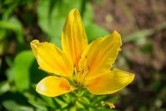Flor amarela do lírio nas cores ensolaradas brilhantes bonitas do jardim Foto de Stock