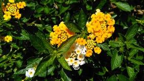 Flor amarela do Lantana fotografia de stock