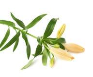 Flor amarela do lilium do lírio isolada Fotografia de Stock