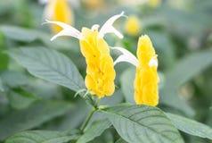 Flor amarela do lutea dourado de Pachystachys do camarão com folha i foto de stock royalty free