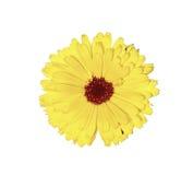 Flor amarela do marigold isolada Imagem de Stock