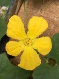 Flor amarela do melão de inverno Fotografia de Stock Royalty Free