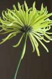 Flor amarela do Mum fotografia de stock