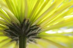 Flor amarela do Mum imagens de stock