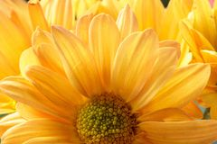 Flor amarela do mum Imagem de Stock